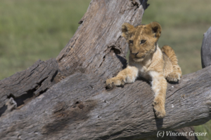 Lion cub (Panthera leo) watching from a trunk, Masai Mara National Reserve, Kenya