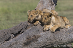 Two lion cubs (Panthera leo) watching from a trunk, Masai Mara National Reserve, Kenya