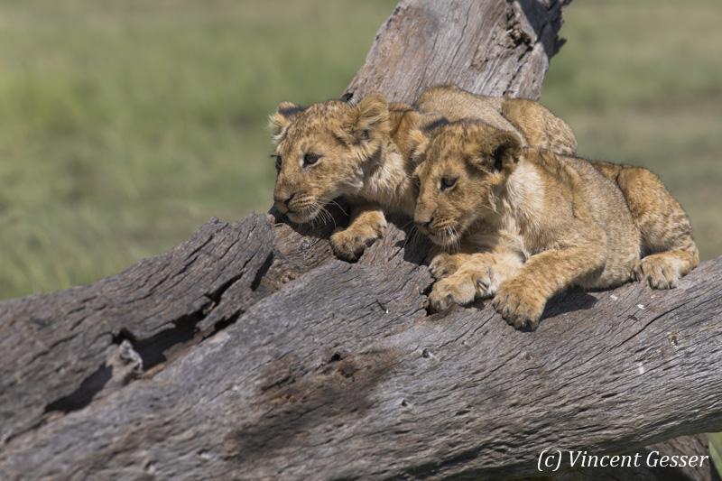 Two lion cubs (Panthera leo) watching from a trunk, Masai Mara National Reserve, Kenya