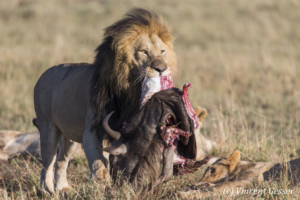 Lion (Panthera leo) with kill, Masai Mara National Reserve, Kenya, 1