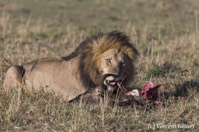 Lion (Panthera leo) with kill, Masai Mara National Reserve, Kenya, 2