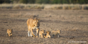 Lioness (Panthera leo) walking with cubs, Masai Mara National Reserve, Kenya, 1