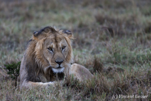 Lion (Panthera leo) observing in the rain, Masai Mara National Reserve, Kenya