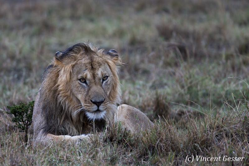 Lion (Panthera leo) observing in the rain, Masai Mara National Reserve, Kenya