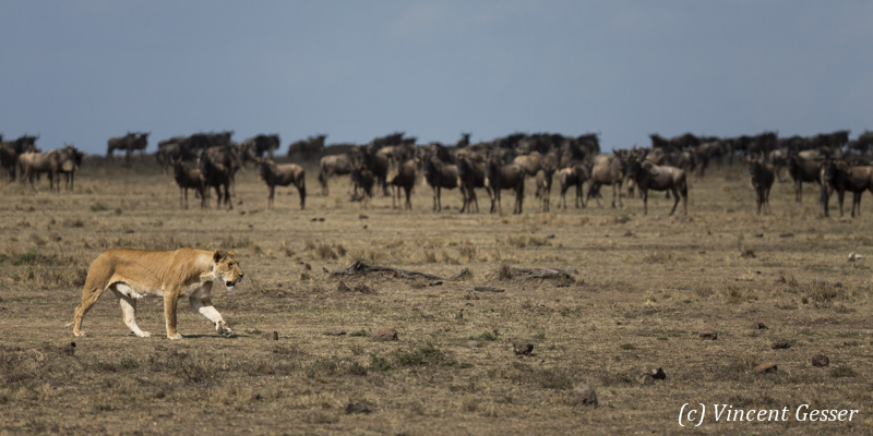 Lioness (Panthera leo) walking in front of observing wildebeests, Masai Mara National Reserve, Kenya