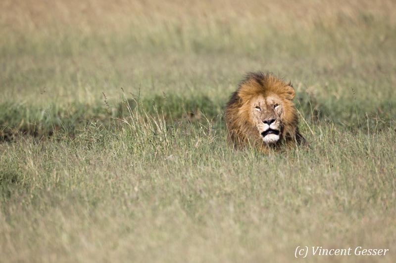 Lion (Panthera leo) head observing from the high grass, Masai Mara National Reserve, Kenya