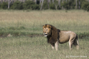 Male lion (Panthera leo) scanning the plain, Masai Mara National Reserve, Kenya