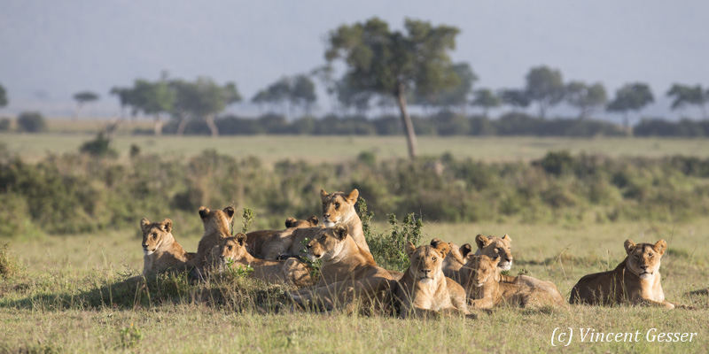 Pride of lions (Panthera leo) looking around, Masai Mara National Reserve, Kenya
