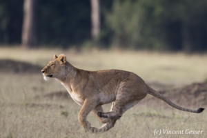 Female lion (Panthera leo) running, Masai Mara National Reserve, Kenya