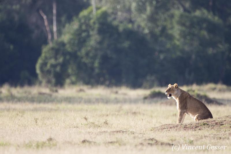 Female lion (Panthera leo) scanning the plain, Masai Mara National Reserve, Kenya