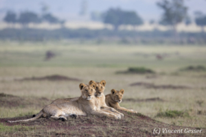 Female lions (Panthera leo) and young scanning the plain, Masai Mara National Reserve, Kenya