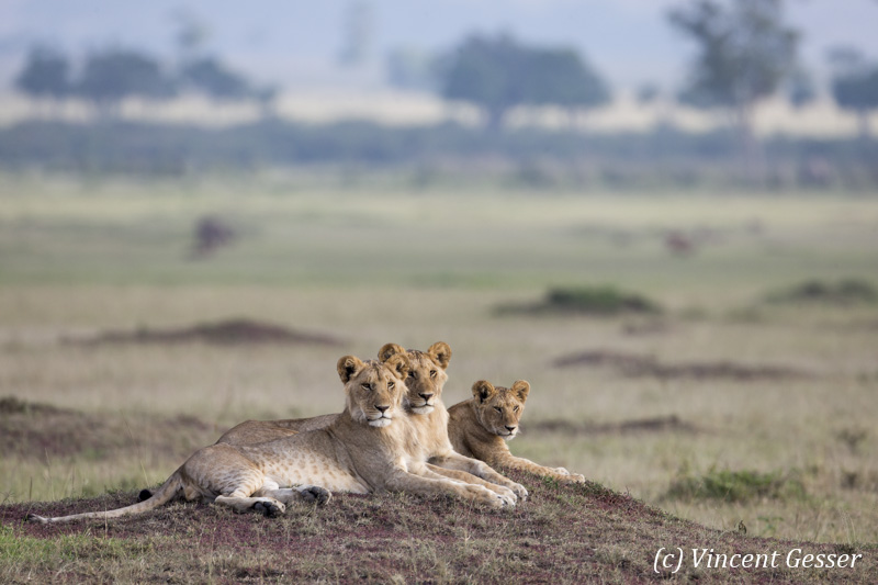 Female lions (Panthera leo) and young scanning the plain, Masai Mara National Reserve, Kenya