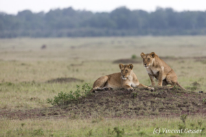 Female lions (Panthera leo) starting to move, Masai Mara National Reserve, Kenya