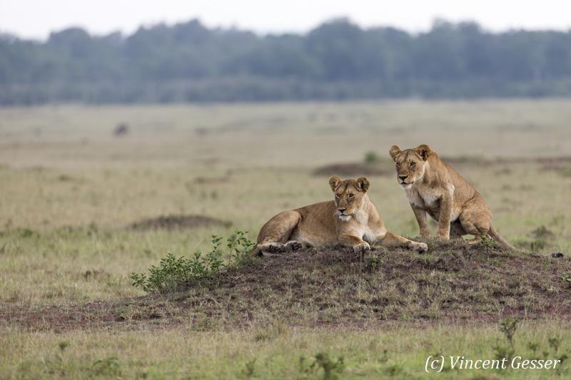 Female lions (Panthera leo) starting to move, Masai Mara National Reserve, Kenya