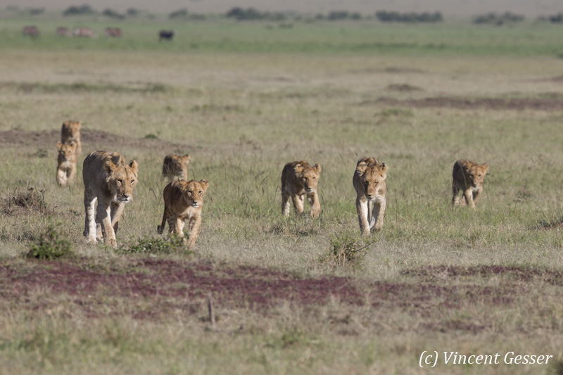 Pride of lions (Panthera leo) walking, Masai Mara National Reserve, Kenya