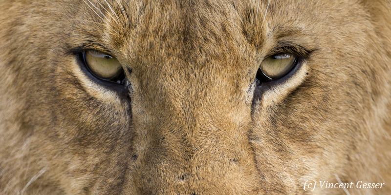 Detail the eyes of a young lion (Panthera leo) walking, Masai Mara National Reserve, Kenya