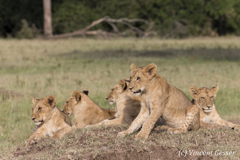Group of young lions (Panthera leo) resting, Masai Mara National Reserve, Kenya