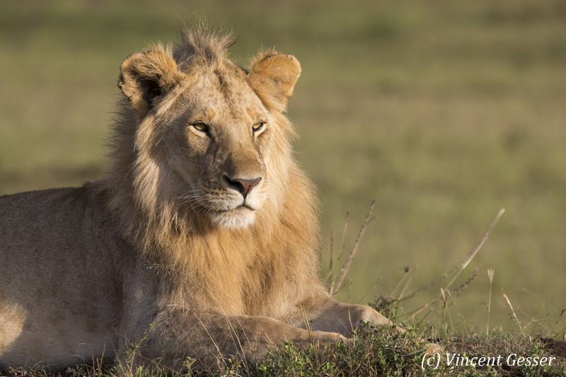 Young lion (Panthera leo) scanning the plain, Masai Mara National Reserve, Kenya