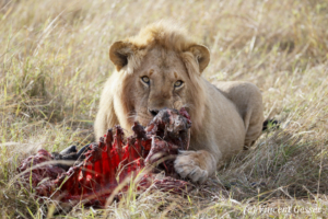 Male lion (Panthera leo) eating its kill, Masai Mara National Reserve, Kenya