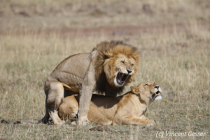 Two lions mating (Panthera leo), Masai Mara National Reserve, Kenya