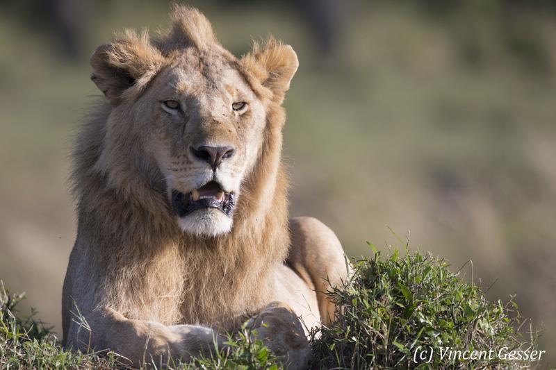 Young male lion (Panthera leo) watching, Masai Mara National Reserve, Kenya