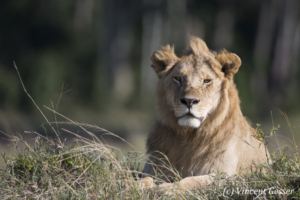 Young male lion (Panthera leo) watching, Masai Mara National Reserve, Kenya