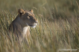 Lioness (Panthera leo) observing from the high grass, Moremi National Park, Botswana