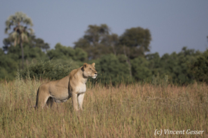 Lioness (Panthera leo) observing from a termite mount, Moremi National Park, Botswana