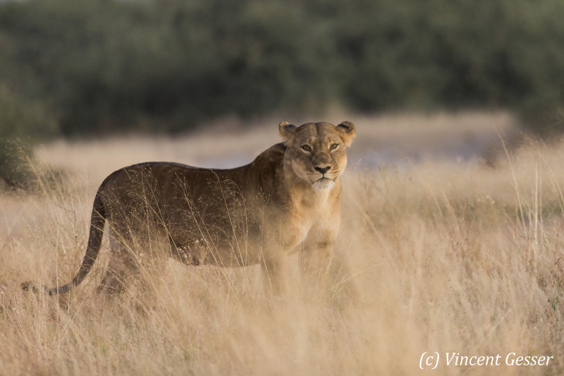 Lioness (Panthera leo) standing in the high grass, Moremi National Park, Botswana
