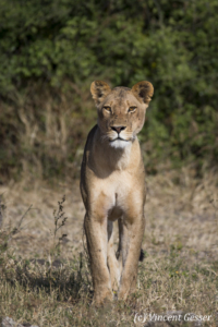 Facing a Lioness (Panthera leo) standing, Moremi National Park, Botswana