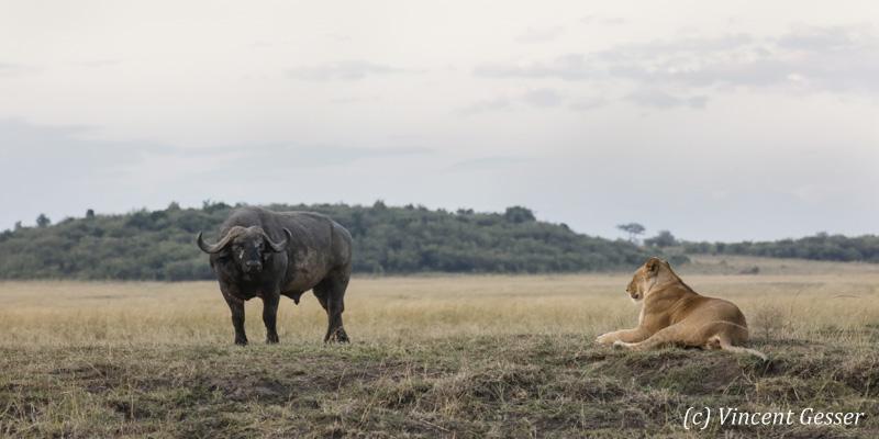 Lioness (Panthera leo) facing and hunting a Cape Buffalo (Syncerus caffer), Masai Mara National Reserve, Kenya