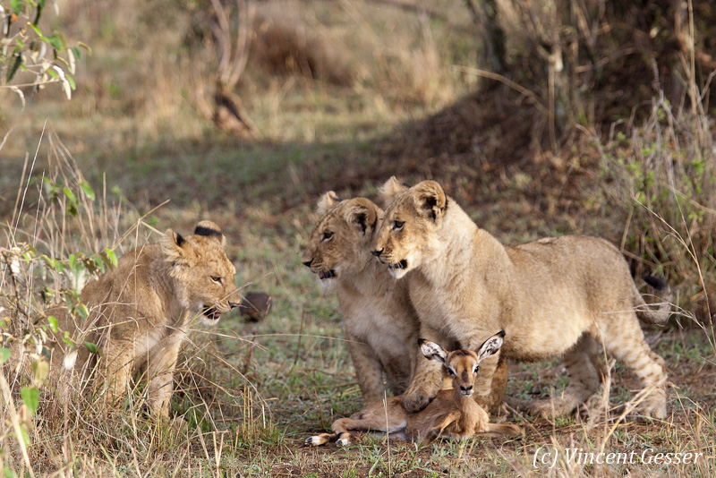 Lion (Panthera leo) cubs playing with young impala (Aepyceros melampus melampus), Masai Mara National Reserve, Kenya