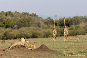 Two lions (Panthera leo) observing two giraffes (Giraffa camelopardalis tippelskirchi), Masai Mara National Reserve, Kenya