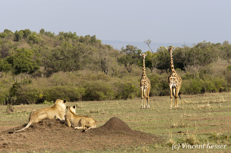 Two lions (Panthera leo) observing two giraffes (Giraffa camelopardalis tippelskirchi), Masai Mara National Reserve, Kenya