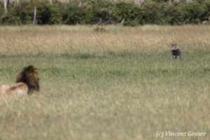 Male lion (Panthera leo) observing face to face with a whartog (Phacochoerus africanus), Masai Mara National Reserve, Kenya