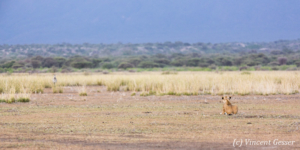Lion (Panthera leo) and zebra (Equus quagga burchellii) facing off, Shompole Sanctuary, Kenya, 1