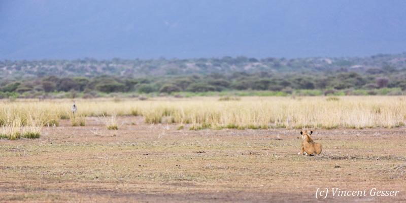 Lion (Panthera leo) and zebra (Equus quagga burchellii) facing off, Shompole Sanctuary, Kenya, 1