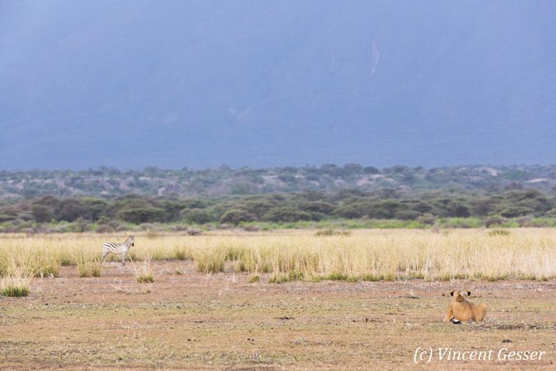 Lion (Panthera leo) and zebra (Equus quagga burchellii) facing off, Shompole Sanctuary, Kenya, 2