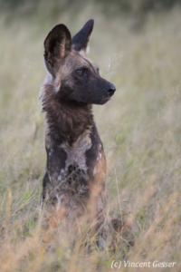 Wild Dog (Lycaon pictus) sitting and observing, Khwai Community, Botswana