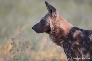 Wild Dog (Lycaon pictus) observing, Khwai Community, Botswana
