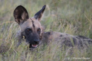 Wild Dog (Lycaon pictus) laying and observing, Khwai Community, Botswana