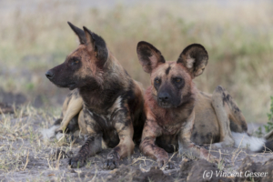 Two Wild Dogs (Lycaon pictus) laying and observing, Khwai Community, Botswana