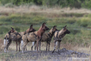 Group of Wild Dogs (Lycaon pictus) observing, Khwai Community, Botswana
