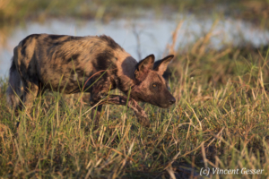 Wild Dog (Lycaon pictus) hunting, Khwai Community, Botswana