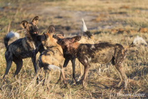 Wild Dogs (Lycaon pictus) playing, Khwai Community, Botswana