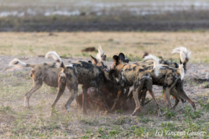 Wild Dog (Lycaon pictus) eating on a kill, Khwai Community, Botswana