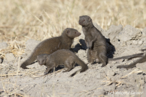Common dwarf mongoose (Helogale parvula) observing, Chobe National Park, Botswana,