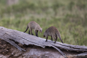 Two Banded mongoose (Mungos mungo) face to face, Masai Mara National Reserve, Kenya