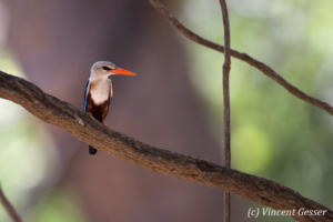 Grey-headed kingfisher (Halcyon leucocephala) on branch, Shompole Sanctuary, Kenya, 1