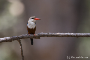 Grey-headed kingfisher (Halcyon leucocephala) on branch, Shompole Sanctuary, Kenya, 5